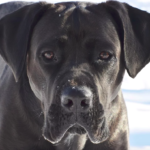 Young Cane Corso in the cold